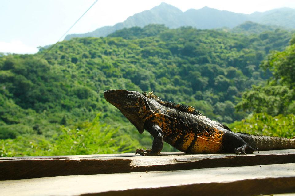 Iguanas-en-Puerto-Vallarta